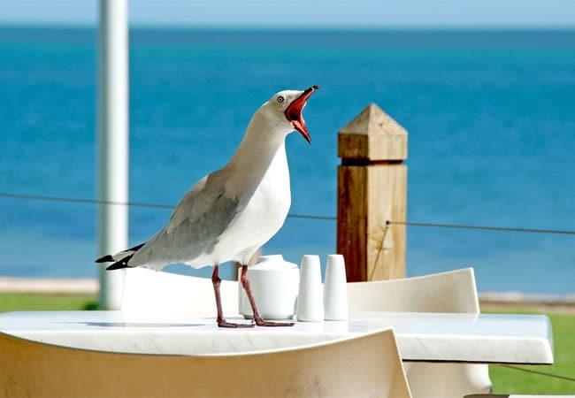 seagull taking food