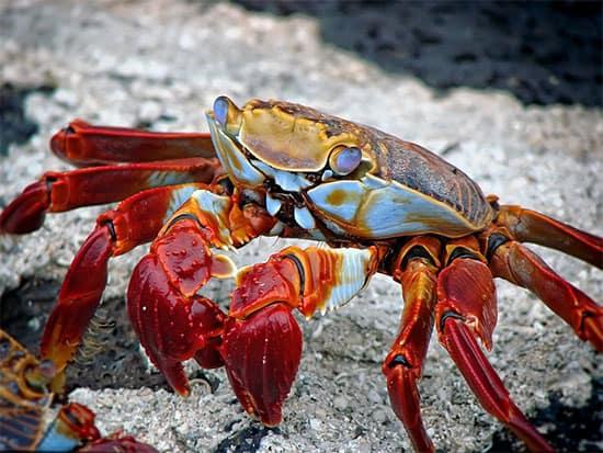 brenna a fine for small crab